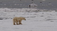 Slow motion - polar bear walks slowly across broken sea ice on coast Stock Footage