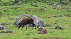 Two red deer stags grazing in grassland in the Highlands, Scotland, UK Stock Footage