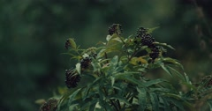 A detail shoot with a wild plant Common elder. Sambucus nigra. Stock Footage