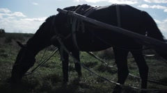 Harnessed Black horse grazes on a green field Stock Footage