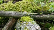 Moss and lichen on a tree stump - medium shot Stock Footage