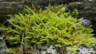 Moss and lichen on a tree stump - close-up shot Stock Footage