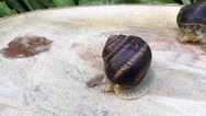 Snail crawling on the stump Stock Footage
