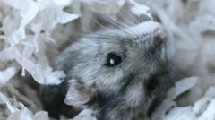 Adorable Dwarf Hamster Stock Footage
