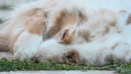 Australlian shepherd Stock Footage