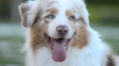 Portrait of a beautiful blue eyed dog Stock Footage