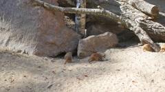 Meerkats digging in the sand Stock Footage