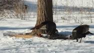 Two turkeys in Winter Stock Footage