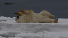 Wet polar bear rolls around on block of sea ice to dry off Stock Footage