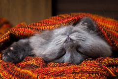 Cute gray cat sleeping wonderful in the bright red blanket Stock Photos