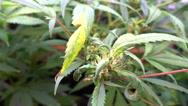 Medical marijuana colorado leaves pot plant 2 Stock Footage