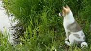 Siberian husky closeup Stock Footage