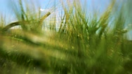 Nature - field with wheat - sunny day - steadicam flies through wheats - detail Stock Footage
