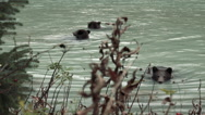 Three Grizzly Bears Swimming in Glacial Fed Water Stock Footage