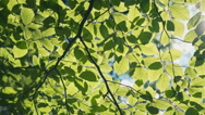 Fresh new green leaves glowing in sunlight Stock Footage