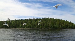 Seagulls flying over the water at the island of Valaam in the North Russia Stock Footage