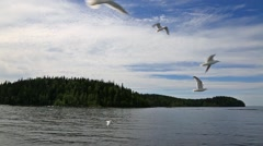 Seagulls flying over the water at Valaam island in north Russia Stock Footage
