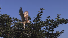 Barn Owl tyto alba Taking off from  apple tree, Slow motion Stock Footage