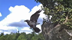 Jackdaw, corvus monedula, Adult in Flight, Taking off from Tree, Slow Motion Stock Footage