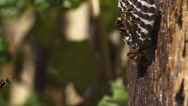 Common Wasp vespula vulgaris Flying to Nest, slow motion Stock Footage