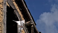 White dove and Pigeon Taking off from barn, Slow motion Stock Footage