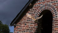 Barn Owl, tyto alba, Adult in Flight, Taking off from Attic, Normandy in France, Stock Footage