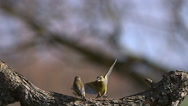 European Greenfinch, carduelis chloris, Adult taking off from Branch with Food Stock Footage