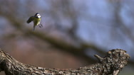 Blue Tit, parus caeruleus , Adult taking off from Tree Trunk, Flying with Food Stock Footage