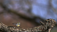 Great Tit, parus major , Adult taking off from Tree Trunk, Flying with Food  Stock Footage