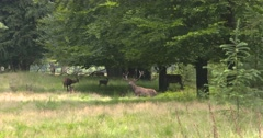 Red Deer (cervus elaphus) dominant stag stands up from rut pool and shakes out Stock Footage