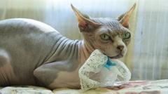 Close up view of sphinx cat lying on sofa headrest Stock Footage