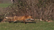 Red Fox, vulpes vulpes, Adult running on Grass, Slow motion Stock Footage