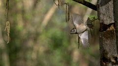 Crested Tit, parus cristatus, Adult standing on Tree Trunk, Taking off and Stock Footage