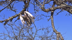 Common Kestrel, falco tinnunculus, Adult taking Off from Branch against Blue Stock Footage