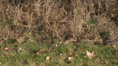 European Rabbit or Wild Rabbit, oryctolagus cuniculus, Young running through Stock Footage
