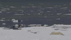 Wide polar bear rolls on sea ice near water to dry off then shakes Stock Footage