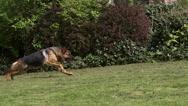 Domestic Dog, German Shepherd Dog, Female running on Grass, Slow motion Stock Footage