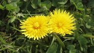 Common Dandelion, taraxacum officinale, Flowering, opening in Meadow, Time Laps Stock Footage