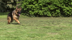 Domestic Dog, German Shepherd Dog, Female running on Grass, Slow motion Stock Footage