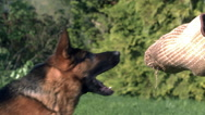 Domestic Dog, German Shepherd Dog, Adult running  and Attacking a Man, Trainer Stock Footage