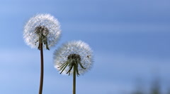 Common Dandelion, taraxacum officinale, seeds from 'clocks' being blown and Stock Footage