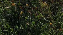 Common Dandelion, taraxacum officinale, Flowering, opening in Meadow, Time Laps Arkistovideo