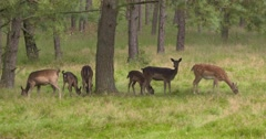 Fallow deer forage under a tree in open forest Stock Footage