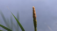 Great Reedmace or Bulrush, typha latifolia, Pollen being released from Plant, Stock Footage