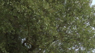 Pollard Willow, salix alba, Wind in the Leaves, Slow motion Stock Footage