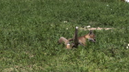 Red Fox, vulpes vulpes, Pups playing on Grass, Normandy in France, Slow Motion Stock Footage
