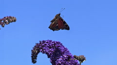 Peacock Butterfly, inachis io, Adult in Flight, Taking off from Buddleja  Stock Footage