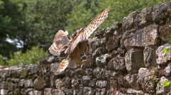 Barn Owl, tyto alba, Adult in Flight, Entering Hole in a Wall of stone, Stock Footage