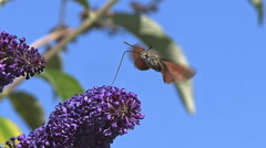 Hummingbird Hawkmoth,macroglossum stellatarum, Adult in Flight, Flapping Wings Stock Footage