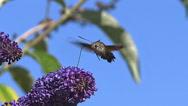 Hummingbird Hawkmoth,macroglossum stellatarum, Adult in Flight, Flapping Wings Stock Footage